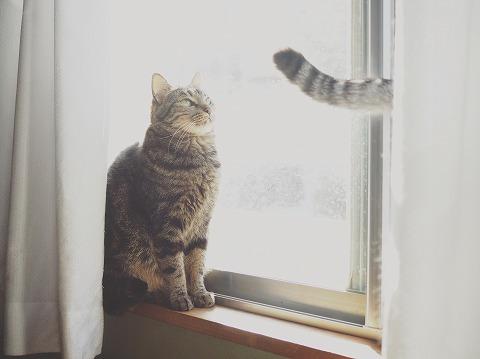 カーテンからはみ出てるサバトラ猫のしっぽ
