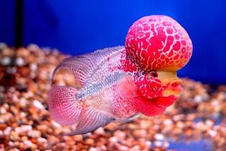 Jenis Ikan Louhan Yang Tidak Jenong