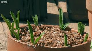 Sage cuttings