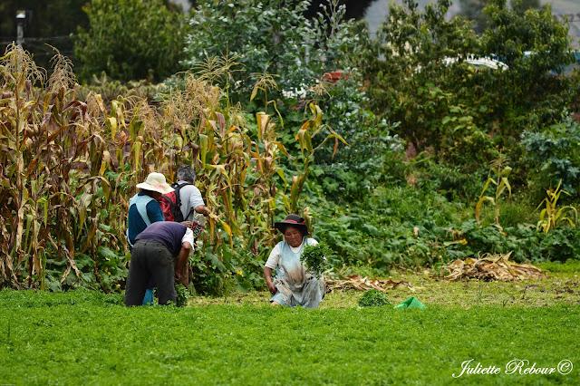Travail dans les champs au Pérou