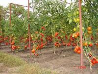 томаты, помидоры, фитофторы, бутон, стимулятор роста