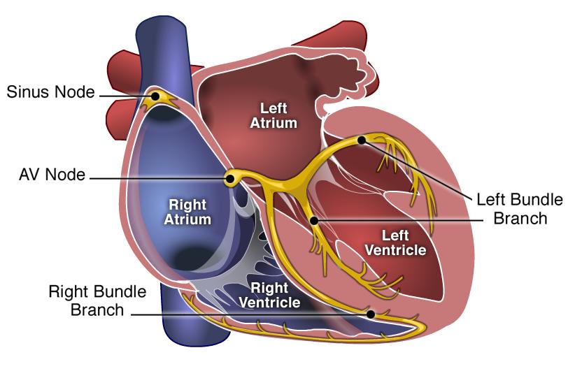 Heart Conduction System Anatomy