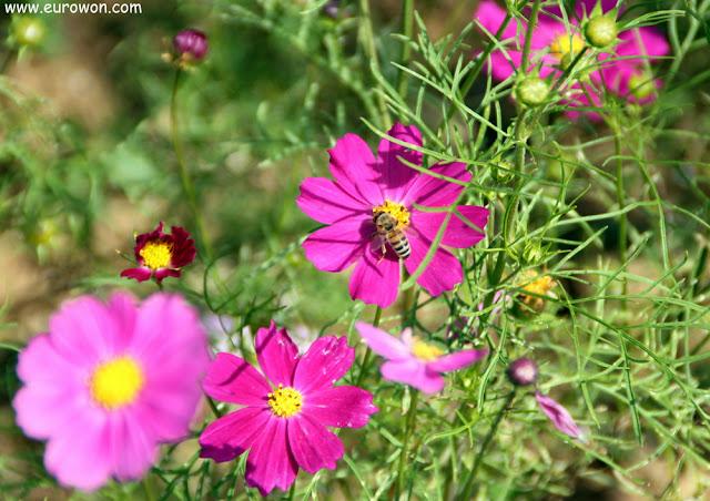Abeja posada en flor cosmos