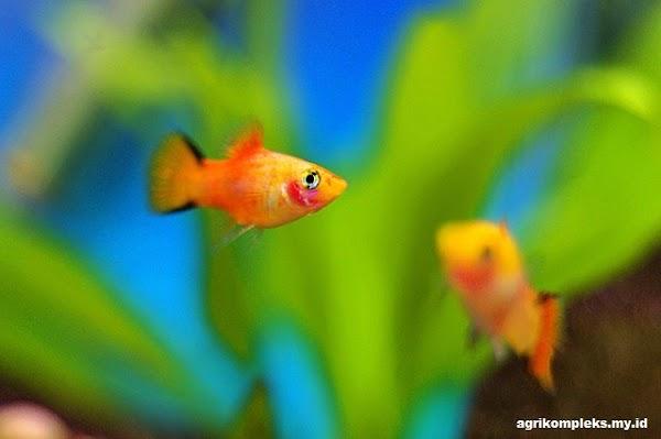 Budidaya Ikan Platy, Ikan Hias yang Menguntungkan