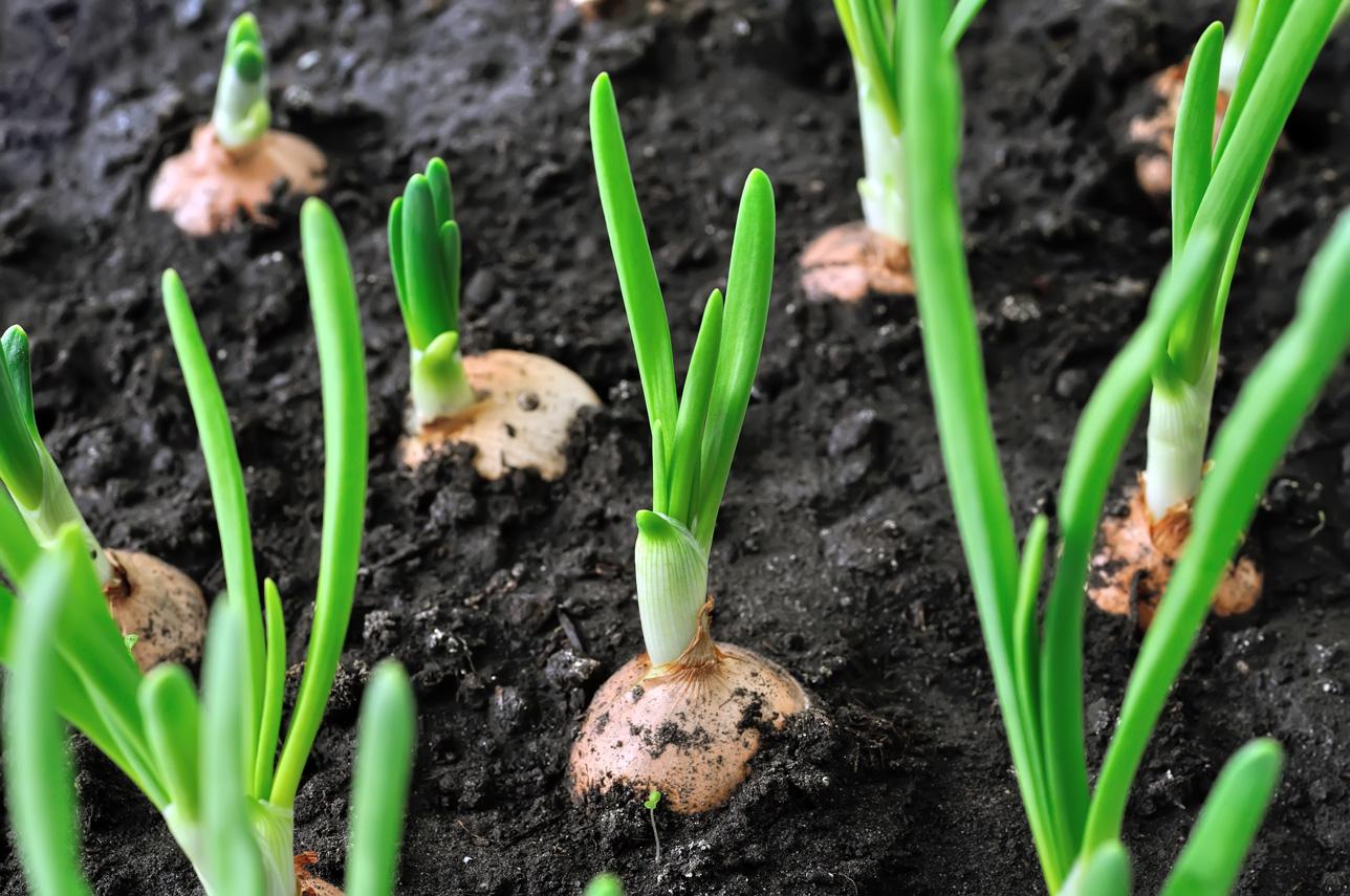 كيفية زراعة البصل الأخضر في المنزل