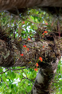 Red Orchid Flowers on Tree in Puriscal