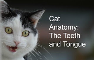 "Black and white cat with its mouth open, showing its teeth.  The image text says, ""Cat Anatomy: The Teeth and Tongue."""