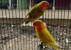 Ciri ciri burung lovebird siap mengikuti lomba