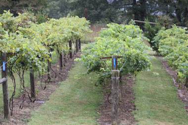 Experimental Vineyard
