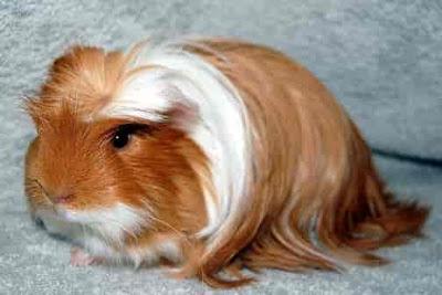 Guinea pig as pet