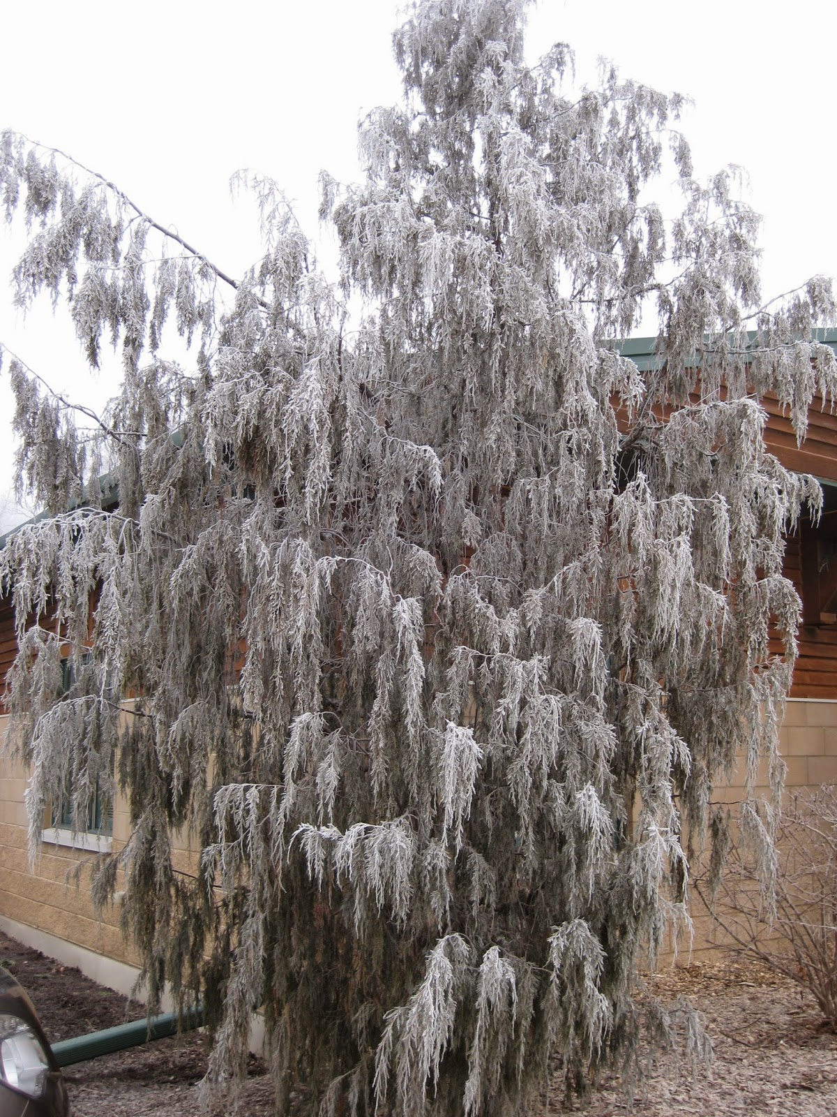 Weeping Conifers Should Make You Smile Rotary Botanical