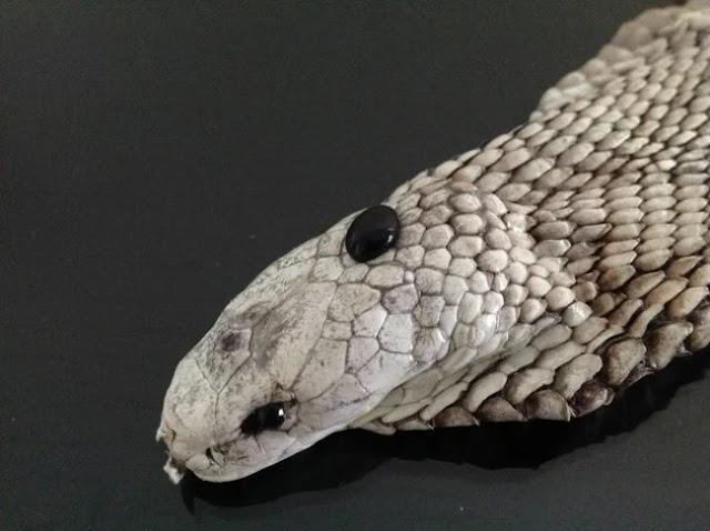Vén màn bí mật 'viên ngọc đen' trên đầu rắn hổ mang và sự thật tác dụng thần kỳ