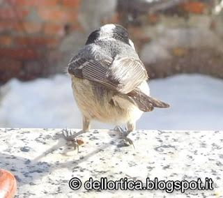Cincia mora fare birdwatching all azienda agricola dell ortica a Savigno Valsamoggia Bologna vicino a Zocca