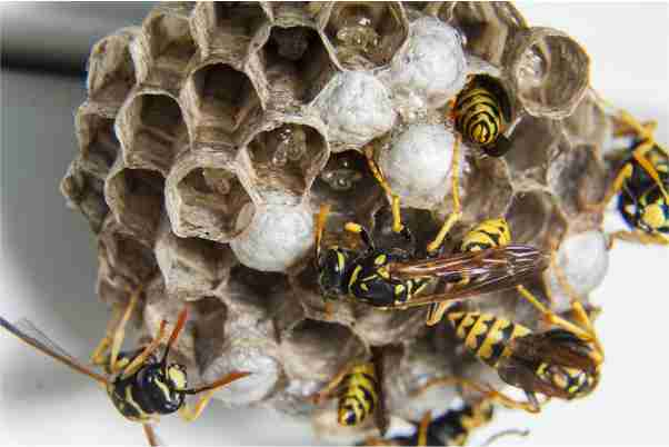 Cara Mengusir Tawon atau Lebah