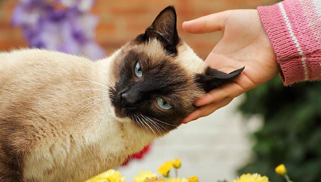 Кошки оказались единственными домашними животными, которые могут заразиться коронавирусом