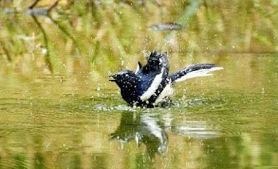 cara merawat burung,kacer mabung,mbagong,juara nasional,gacor,