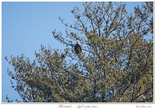 Merrimack: ... high on pine trees...