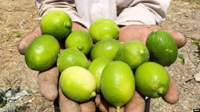 bibit tanaman jeruk nipis cepat berbuah Sulawesi Tenggara