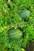 semangka arsenal, buah semangka, cara menanam semangka, jual benih semangka, toko pertanian, toko online, lmga agrok