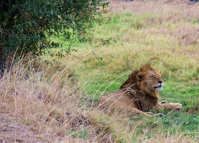 lion in Masai Maara