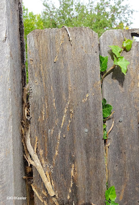scars from English ivy on fence
