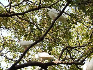 旗上弁財天社の白鳩