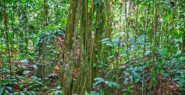 Akar Bajakah Asal Kalimantan Tengah Bisa Menyembuhkan Kanker