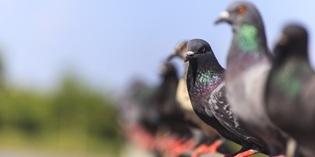 Controle de Pombos