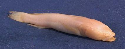 Blind Congo Cichlid Lamprologus lethops