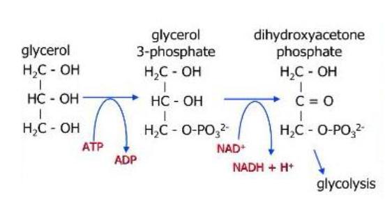 Reaksi-Reaksi Kimia Metabolisme Gliserol