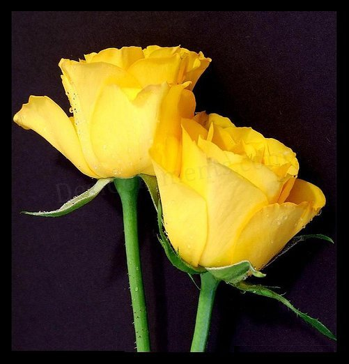 Wallpaper Of Yellow Rose: Cute Wallpaper's: Cute Yellow Roses