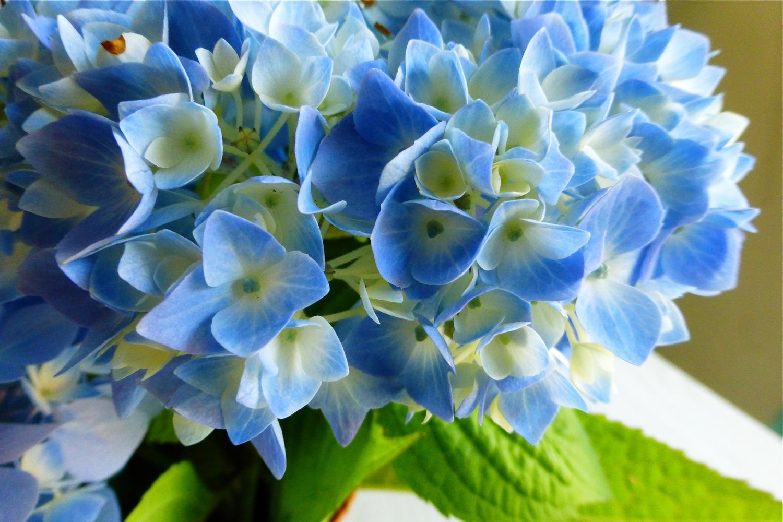 hydrangea, blue hydrangea