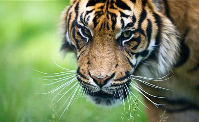Kisah Babiat Sitelpang, Legenda Harimau yang Menjadi Ompung Bagi Orang Batak