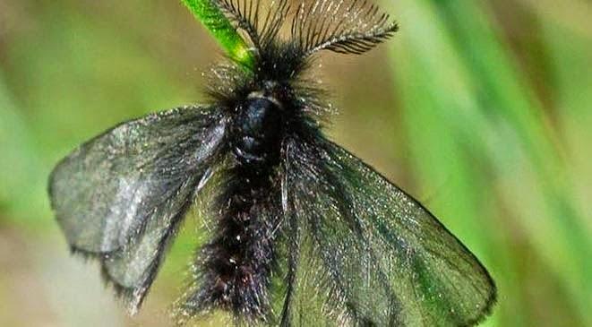 الفراشة التي تعيش يوما واحدا