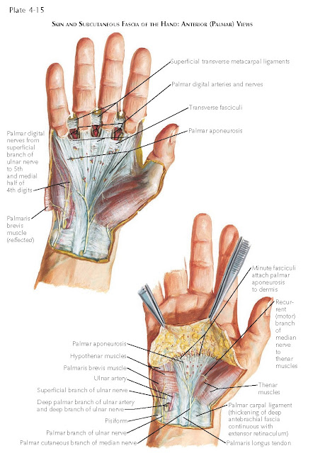 FASCIA AND SUPERFICIAL ANATOMY OF THE HAND