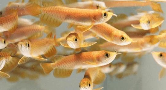 Makanan Ikan Arwana Sesuai Jenis Dan Ukurannya Informasi Ikan