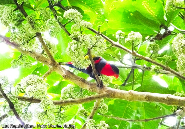 Black-capped Lory in Malagufuk village, Klasow valley of West Papua