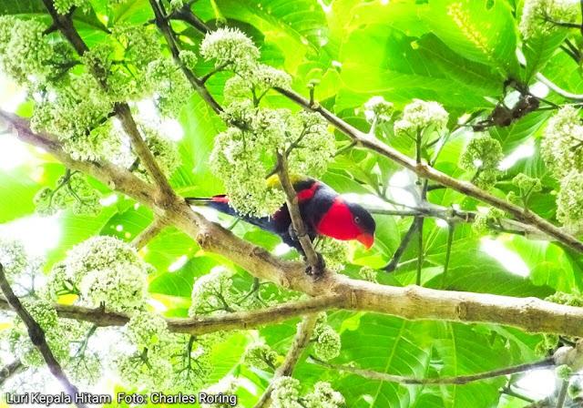 Tropical birding in rainforest Indonesia