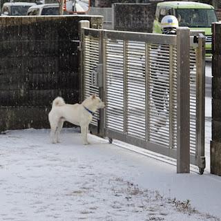 雪の中、登校する中学生を見つめる白柴チロ