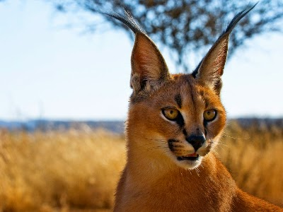 Caracal: Animale di Potere e Totem