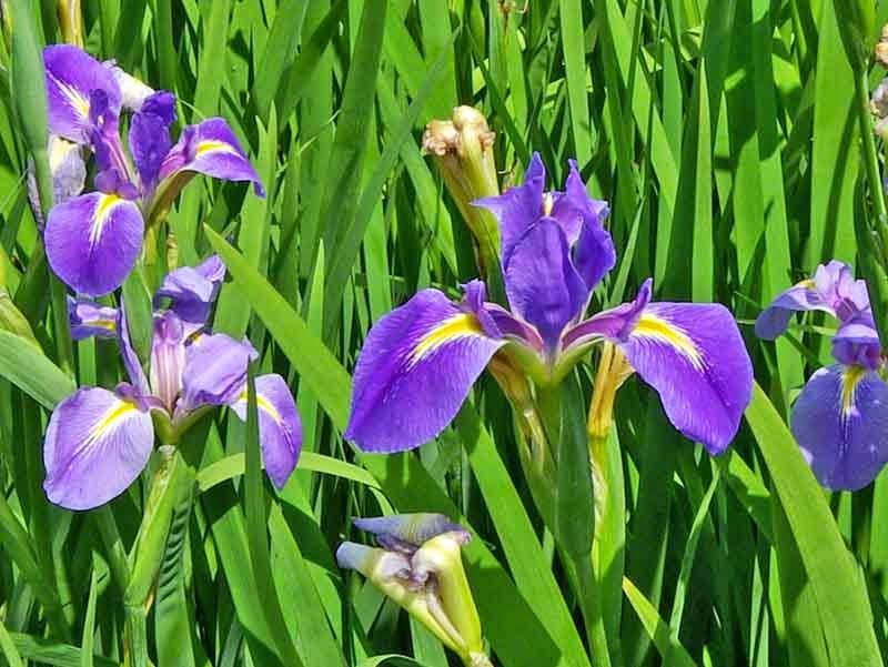 flowers, iris field close-up