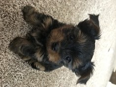 Testimonials ~ Teacup Yorkies Puppies For Sale