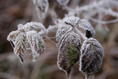Mehrere eingefrorene Blätter an einem Ast
