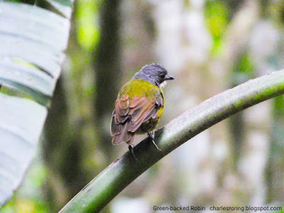 Birding tour in West Papua with Charles Roring