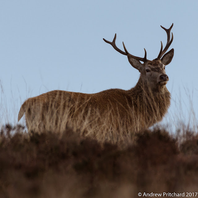 The stag continues to stare from his position in the long grass, which gives a slight hint of flames licking up his flank.