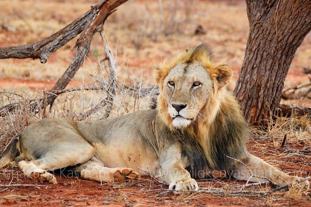 Lions, Lions Tsavo, Ngutuni Sanctuary, Ngutuni Lions, Wild Kenya Safaris, www.wildkenyasafaris.com, Shazaad Kasmani, Tsavo East Safari, Ngutuni Safari, Safari from diani beach, Reisen Kenia, Urlaub Safari Kenia