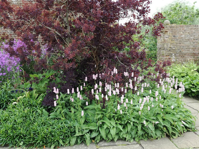 Purple Border, polygonum bistorta Superba