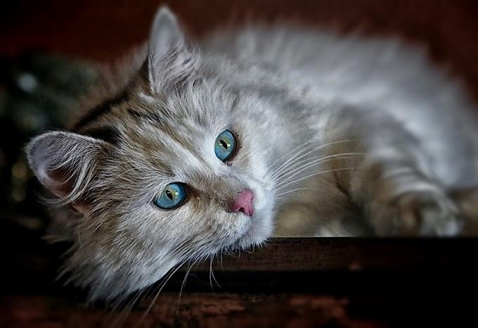 Cómo tratar las bolas de pelo en los gatos