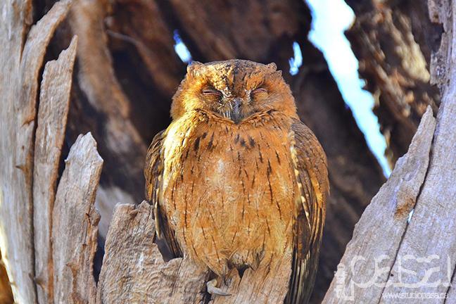 Owl | Madagascar