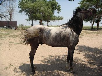 PASO FINO Horse Tales,Sales,tips & training ideas: 8